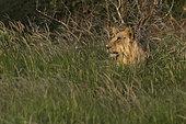 Lion (Panthera leo) sub-adulte dans les herbes, Tsavo, Kenya