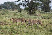 Guépard (Acinonyx jubatus) marchant dans la savane, Tsavo, Kenya