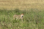 A cheetah, Acynonix jubatus, walks in the tall grass, Seronera, Serengeti National Park, Tanzania.