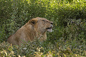 Young male lion (Panthera leo), Ndutu, Ngorongoro Conservation Area, Serengeti, Tanzania.