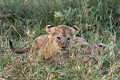 Two 45-50 days old Lion cubs, (Panthera leo), hiding in the grass, Ngorongoro Conservation Area, Serengeti, Tanzania.