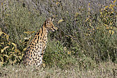 Portrait of a serval (Leptailurus serval) checking bushes for preys, Ngorongoro Conservation Area, Serengeti, Tanzania.