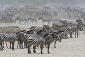Hundreds of migrating plains zebras, Equus quagga, in the Hidden Valley, Ngorongoro Conservation Area, Serengeti, Tanzania.