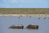 Hippopotamuses (Hippopotamus amphibius) and Plains zebras (Equus quagga), Ndutu, Ngorongoro Conservation Area, Serengeti, Tanzania.