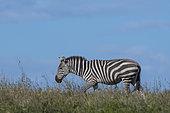 Plains zebras (Equus quagga), Ndutu, Ngorongoro Conservation Area, Serengeti, Tanzania.
