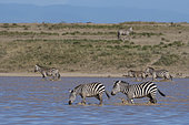 Migrating plains zebras, Equus quagga, walking in the Hidden Valley lake, Ndutu, Ngorongoro Conservation Area, Serengeti, Tanzania.