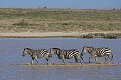 Plains zebras, Equus quagga, walking in the Hidden Valley lake, Ndutu, Ngorongoro Conservation Area, Serengeti, Tanzania.