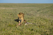 A lioness (Panthera leo) on a carcass, Ndutu, Ngorongoro Conservation Area, Serengeti, Tanzania.