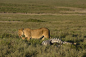 A lioness, Panthera leo, and a 5 weeks old cub on a common zebra carcass, Equus quagga, Ndutu, Ngorongoro Conservation Area, Serengeti, Tanzania.