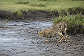 Guépards (Acynonix jubatus) sur la berge, Seronera, Parc national du Serengeti, Tanzanie.