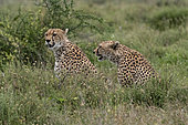 Two cheetah, Acynonix jubatus, relaxing while looking the savannah for a prey, Seronera, Serengeti National Park, Tanzania.