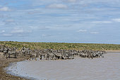 A herd of plains zebras (Equus quagga) drinking at Hidden Valley lake, Ndutu, Ngorongoro Conservation Area, Serengeti, Tanzania.
