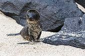 Lion de mer des Galapagos (Zalophus californianus wollebaeki) jeune sur une plage, Punta Suarez, île d'Espanola, îles Galapagos, Équateur.