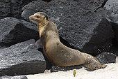 Lion de mer des Galapagos (Zalophus californianus wollebaeki) sur rocher, île d'Espanola, îles Galapagos, Équateur.