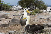 A couple of waved albatross, Diomedea irrorata, Espanola Island, Galapagos islands, Ecuador.