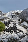 Iguane marin (Amblyrhynchus cristatus) sur rocher, Punta Suarez, île Espanola, îles Galapagos, Équateur.