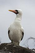 Nazca booby (Sula dactylatra granti), known also as masked booby, Punta Suarez, Espanola Island, Galapagos islands, Ecuador.