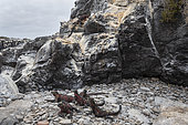 Marine Iguana (Amblyrhynchus cristatus), Punta Suarez, Espanola Island, Galapagos islands, Ecuador.