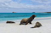 Galapagos Sea Lions (Zalophus californianus wollebaeki), Gardner Bay, Espanola Island, Galapagos islands, Ecuador.