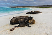 A Galapagos sea lion, Zalophus californianus wollebaeki, on a sandy beach, with its newborn, Espanola Island, Galapagos islands, Ecuador.
