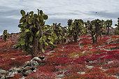 Sésuvium (Sesuvium edmonstonei) et Cactus Opuntia (Opuntia sp) sur l'île de South Plaza, îles Galapagos, Équateur.