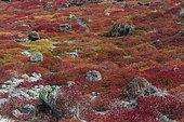 Galapagos carpet weed (Sesuvium edmonstonei) on South Plaza Island, Galapagos islands, Ecuador.
