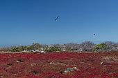 Galapagos Carpet Weed (Sesuvium edmonstonei), North Seymour island, Galapagos Islands, Ecuador.