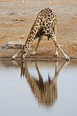 Giraffe (Giraffa camelopardalis), drinking at a waterhole, Etosha National Park, Namibia, Africa