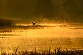 Red deer (Cervus elaphus) walking through pond in morning mood, golden light, rising mist, Lusatia, Saxony, Germany, Europe