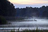 Red deer (Cervus elaphus) walking through pond in morning mood, rising fog, Lusatia, Saxony, Germany, Europe