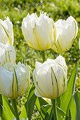 Tulipa double hâtive 'White Valley'