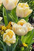 Tulipa double hâtive 'Foxy Foxtrot'