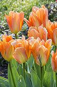 Tulipa fosteriana 'Orange Emperor'