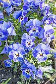 Viola cornuta Sorbet 'Scarlet bleu à centre clair'