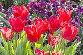 Tulipa fleur de lys 'Pretty Woman'