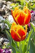 Tulipa perroquet 'Davenport'