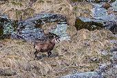Chamois des Alpes (Rupicapra rupicapra), Valsavarenche, Parc national du Grand Paradis, Vallée d'Aoste, Italie.