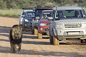 Black-maned lion (Panthera leo melanochaita), old male with injured mouth, walking along a dirt road, followed by cars, Kgalagadi Transfrontier Park, Northern Cape, South Africa, Africa