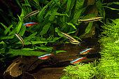 Poissons crayons à une bande (Nannostomus unifasciatus) et Cardinalis (Paracheirodon axelrodi) en aquarium