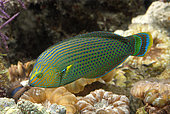 Dusky wrasse (Halichoeres marginatus) in aquarium