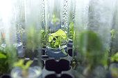 Anubias barteri, aquarium plant, in vitro cultivation