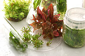 Aquarium plants, in vitro cultivation