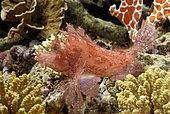 Weed fish (Rhinopias frondosa) in aquarium