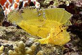 Leaf scorpionfish (Taenianotus triacanthus) in aquarium