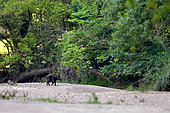 Eurasian wild boar (Sus scrofa) crossing a dry arm of the Loire River, Loire Valley, France