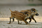 Eurasian wild boar (Sus scrofa ) piglets were part of a group of 5 running on a dry arm of the Loire River, Loire Valley, France
