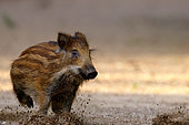 Eurasian wild boar (Sus scrofa ) piglet was part of a group of 5 running on a dry arm of the Loire River, Loire Valley, France