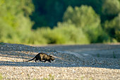 Coypu (Myocastor coypus) crossing a dry arm of the Loire at dawn, Loire Valley, France