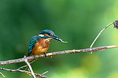 European Kingfisher (Alcedo Atthis) eating a fry on the banks of the Loire River, Loire Valley, France