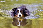 Australian shepherd dog female swimming in an arm of the Loire River, France